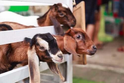 Gehege für Ziegen