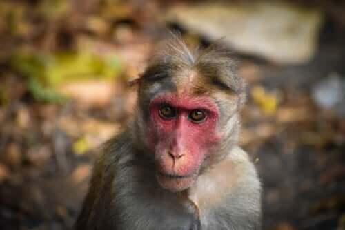 Das markante Gesicht eines Makaken