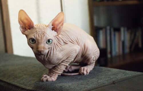 """Kohana oder auch """"Hawaian Hairless"""" Katze"""
