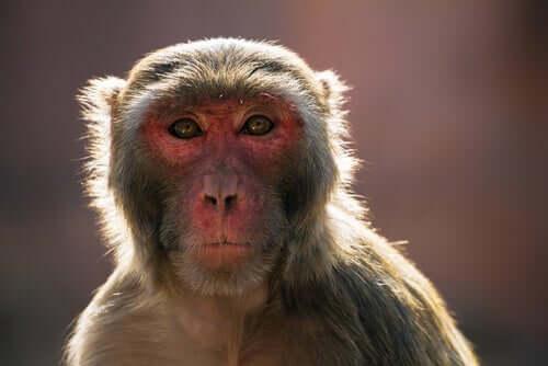 Makaken: ein Problem in Indien