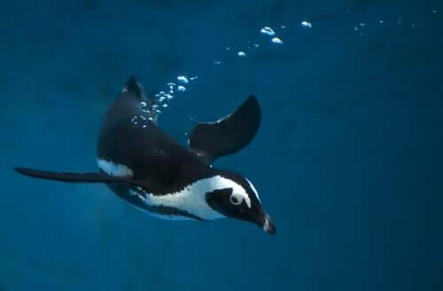 Der Pinguin ist ein sehr guter Schwimmer