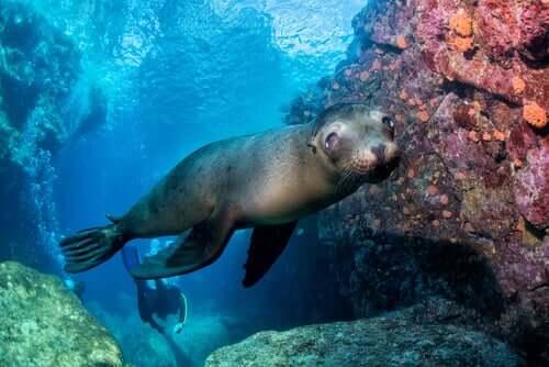 Der Seelöwe ist einer der besten Schwimmer der Tierwelt
