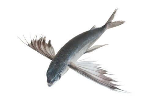 Tropischer fliegender Fisch