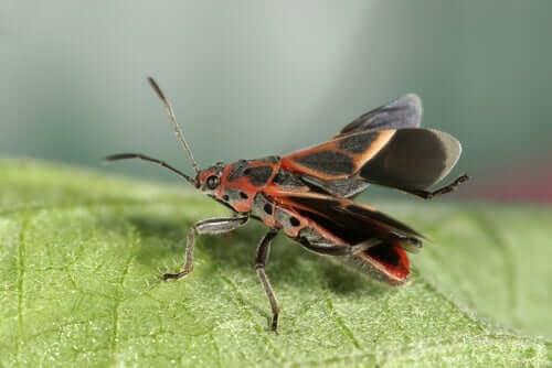 Vinchuca, die Überträgerin der Chagas-Krankheit