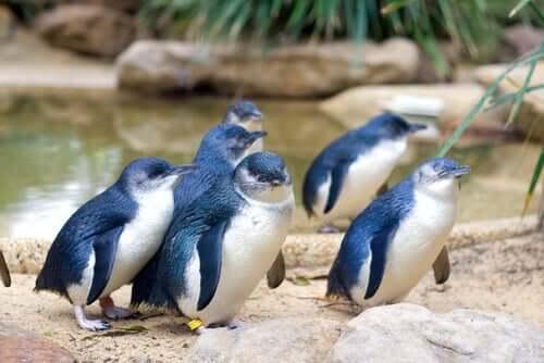 Zwergpinguin, der kleinste der Welt