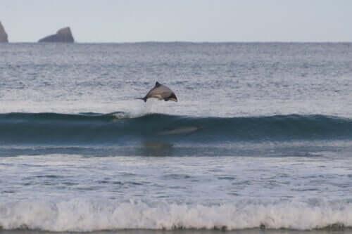 Delfin springt über eine Welle