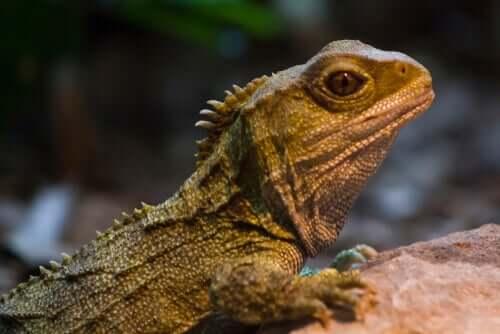 Die Brückenechse: Überlebenskünstlerin aus der Dinosaurier-Ära