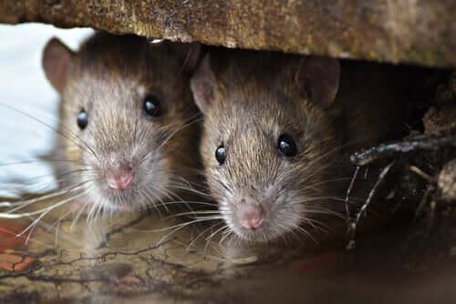 Die Intelligenz der Ratten