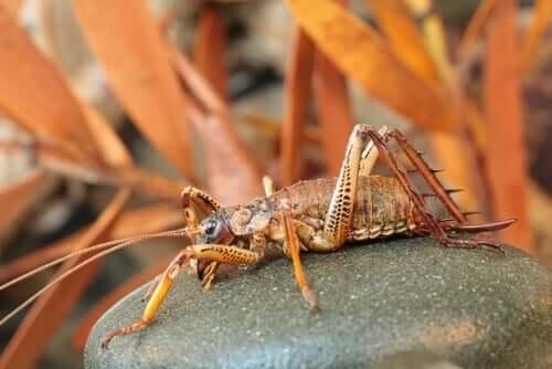 Die Weta, eines der größten Insekten des Planeten