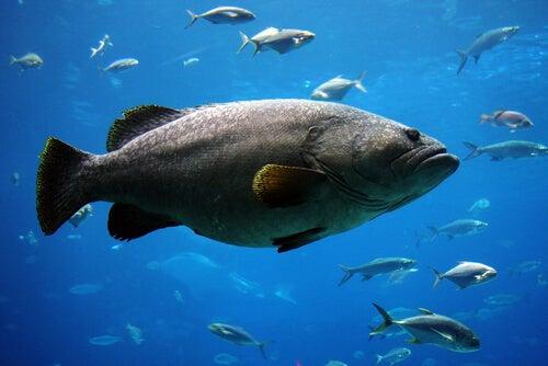 Ein wahrhaftiger Riese unter den Fischen