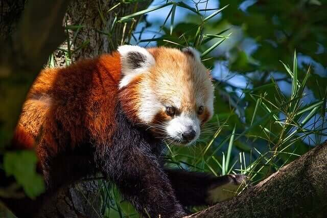 Der Katzenbär, auch roter Panda genannt