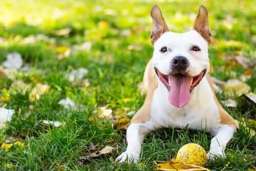 Ein gesunder und glücklicher Hund liegt mit seinem Ball auf einer Wiese