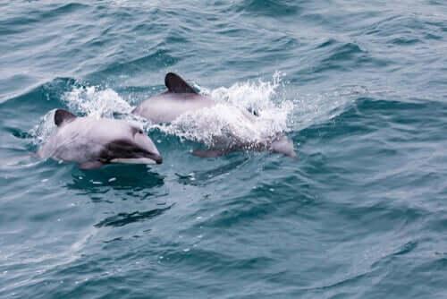 Der Hector-Delfin aus Neuseeland