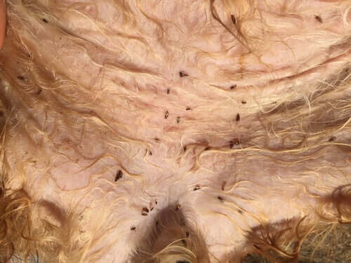 Hund hat Flöhe auf dem Bauch