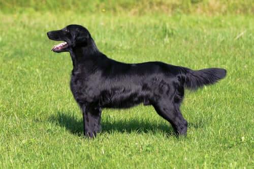 Schwarzer Hund mit wunderschönem Fell dank Chlorella