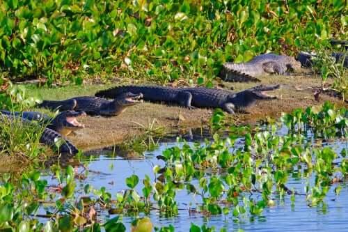 Eine Gruppe von Kaimanen liegt am Flussufer