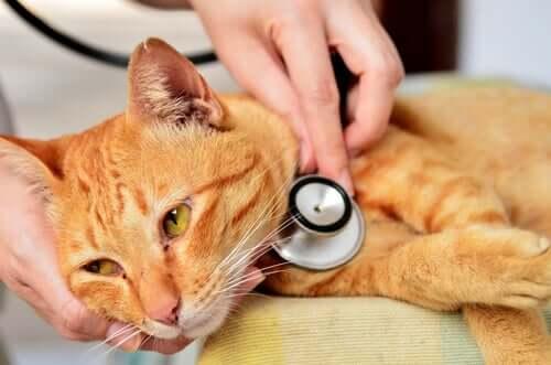 Samtpfötchen wird vom Tierarzt untersucht