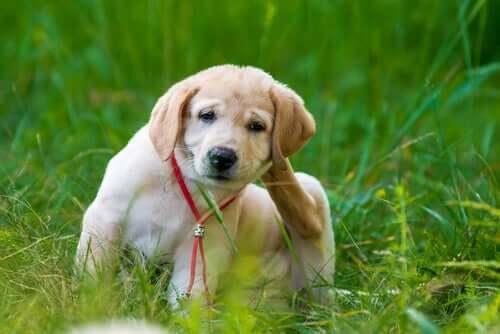 Vorzüge der oralen Antifloh-Produkte bei Hunden