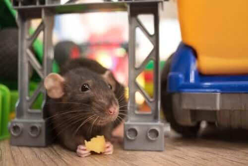 Eine Ratte knabbert an einem Stückchen Käse
