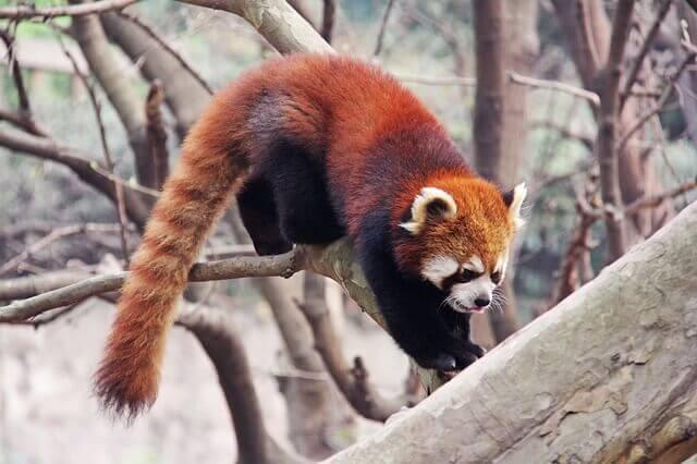 Der Katzenbär, auch roter Panda genannt - Deine Tiere
