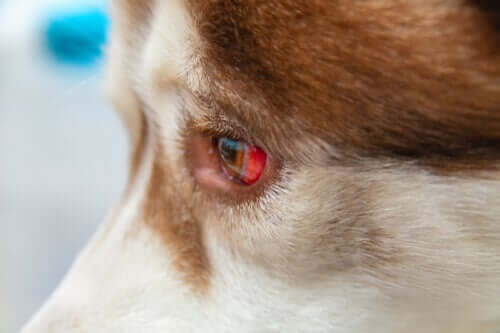 Wie behandelt man eine Unterblutung des Auges bei Hunden?