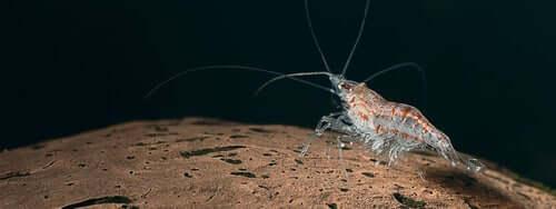 Antarktischer Krill