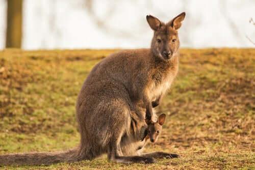 Bergkänguru: Merkmale und Wissenswertes