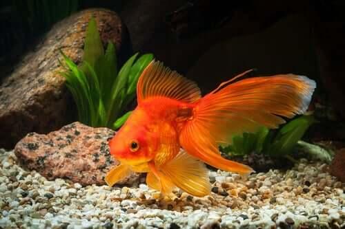 Braucht der Goldfisch ein großes Becken?