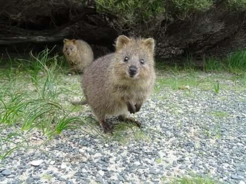 Das Quokka: das glücklichste Tier der Welt!