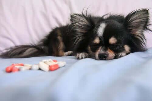 Einschläfern von Haustieren: warum, wann und wie?
