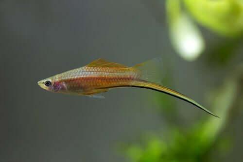 Fisch mit schwertartigem Schwanz
