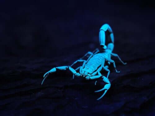 Fluoreszenz bei Skorpionen
