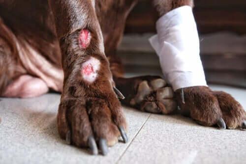 Hund leidet aufgrund einer Verletzung an Tetanus