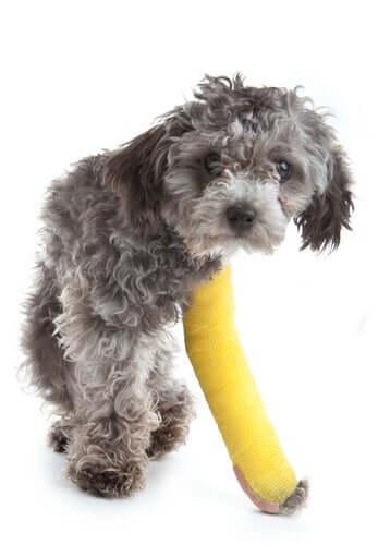 Kleiner Hund mit eingegipstem Bein