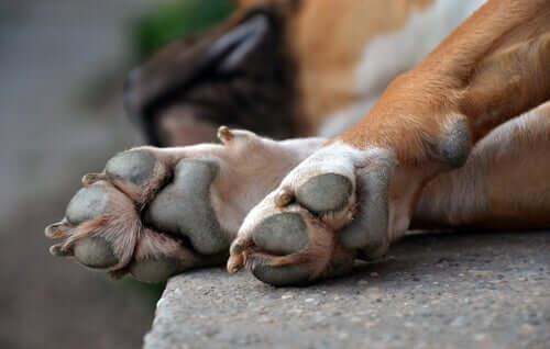 Hundepfoten und die verschiedenen Verletzungen, die sie erleiden können