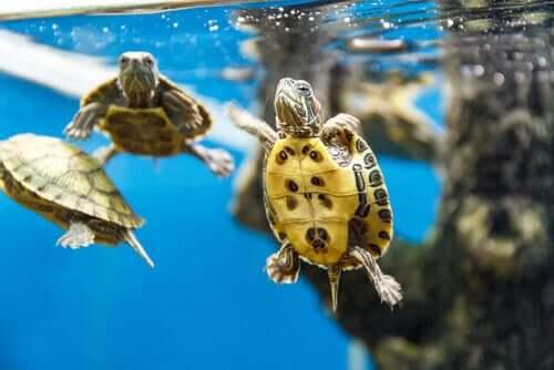 Kleine Wasserschildkröte schwimmt im Aquarium