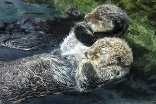 Otter schlafen zusammengekuschelt