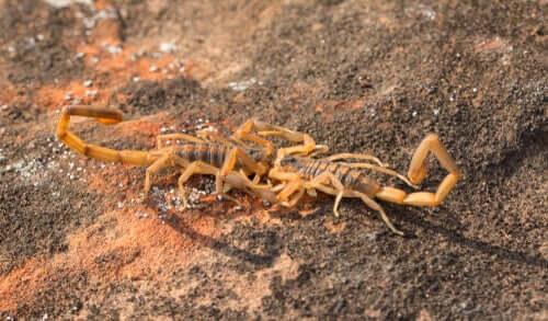 Skorpione bei der Paarung