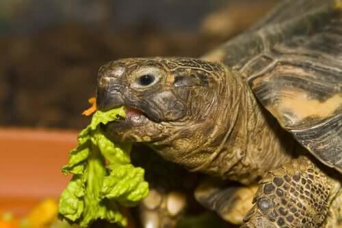 Schildkröte knabbert an einem Stück Salatblatt