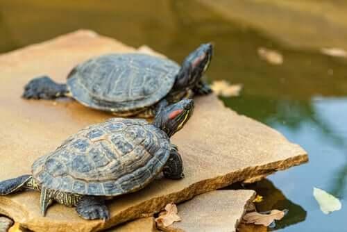 Schildkröten sonnen sich auf einer Steinplatte