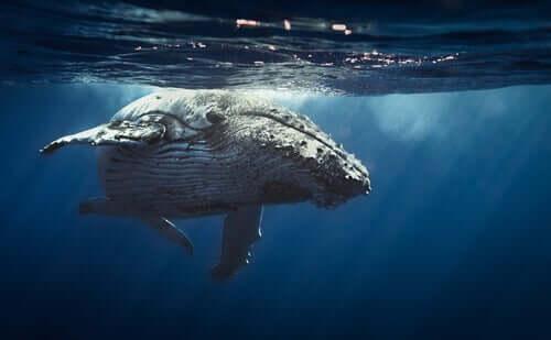 Schlafender Wal