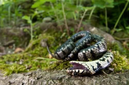 Schlange spielt tot