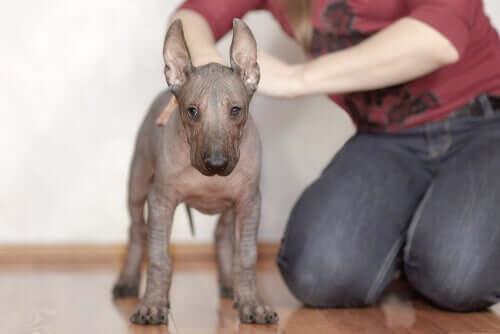 Xoloitzcuintle Welpe