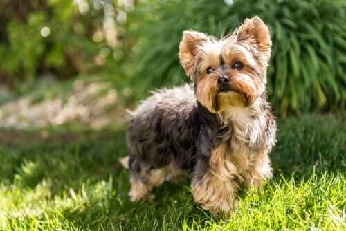 Yorkshire, Nachfahre einer ausgestorbenen Hunderasse