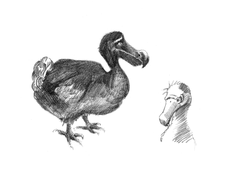 Zeichnungen eines Dodos
