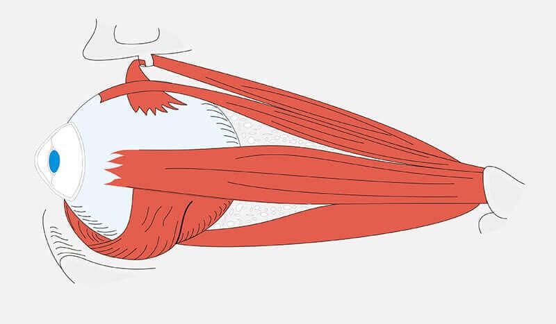 Abbildung der Augenmuskeln