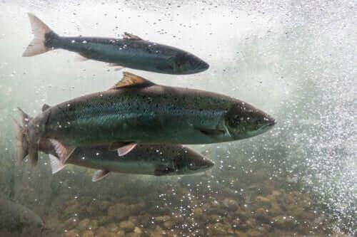 Ansteckene Blutarmut der Lachse