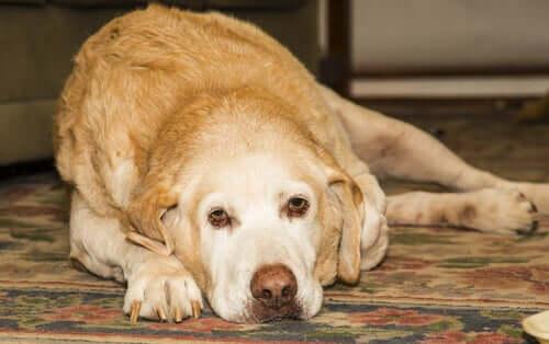 Arthritis beim Labrador Retriever