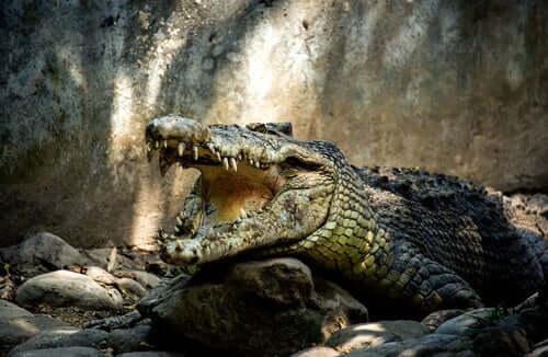 5 Viren, die Krokodile befallen