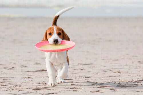 Beagle mit Frisbee am Strand